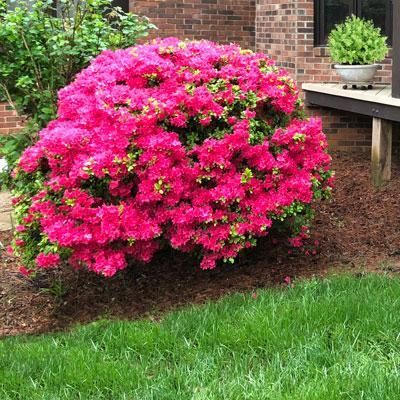 Buy Rhododendron Japonica Explorer Evergreen Dwarf Japanese Azalea In The Uk Azaleas Hardy Plants Rhododendron