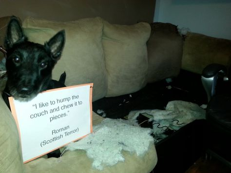 Dog Shame | I like to hump the couch and chew it to pieces. ...