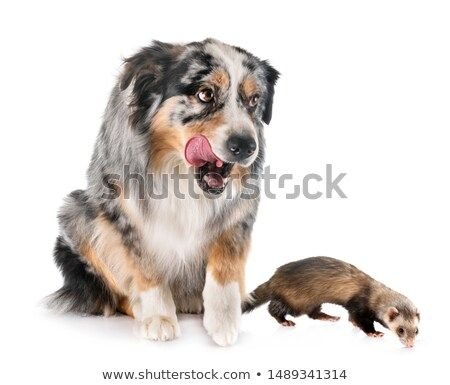 Stock Photo Australian Shepherd And Ferret In Front Of White Background Pet Dogs Australian Shepherd Dogs