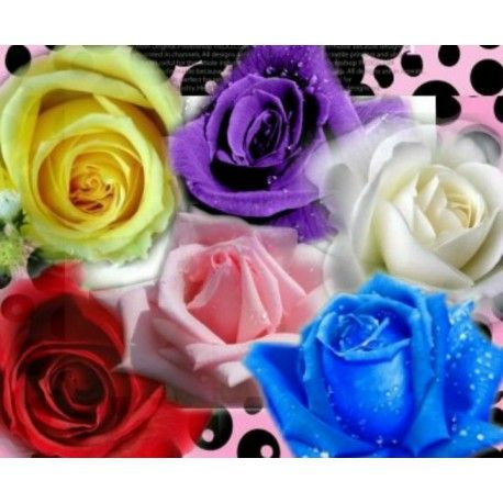Rose Seeds Buy Rose Seeds Online And How To Grow Roses The Rose Seeds Rose Seeds Purple Roses Colorful Roses