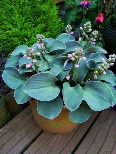 Funkia Hosta Niebieskie Mysie Uszy Klacze Tanio Shade Garden Succulents Hostas