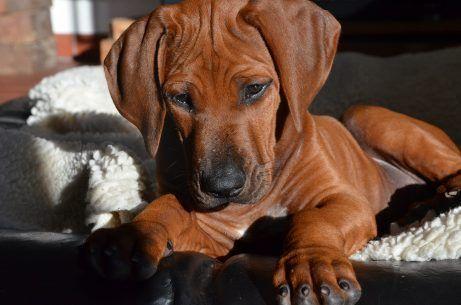 Im Neuen Heim Mit Bildern Hundebabys Hunde Rhodesian Ridgeback