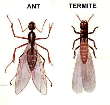 Why Do Some Ants Have Wings and 7 Other Questions about Flying Ants: Ant & Termite Comparison