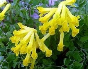 Buy Cheap Yellow Bleeding Heart 20 Seeds Corydalis Lutea Shade Now By Plant Best Perennials For Shade Shade Garden Plants