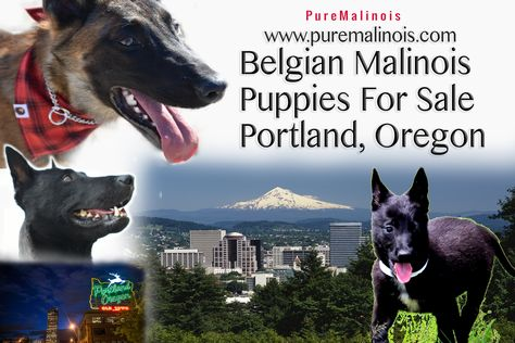 Belgian Malinois Breeders In Portland Oregon Pure Malinois Belgian Malinois Puppies Malinois Puppies For Sale Malinois Puppies