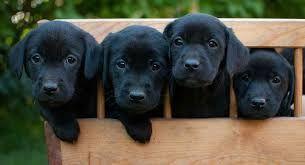 Labrador Google Search Black Labrador Retriever Labrador Retriever Labrador Retriever Dog
