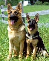 German Shepherds dogs