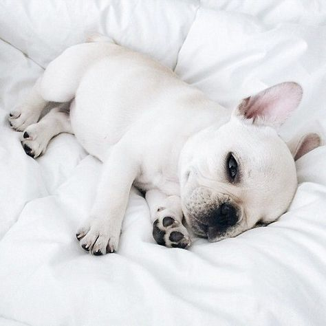 French Bulldog Puppy On White Bed