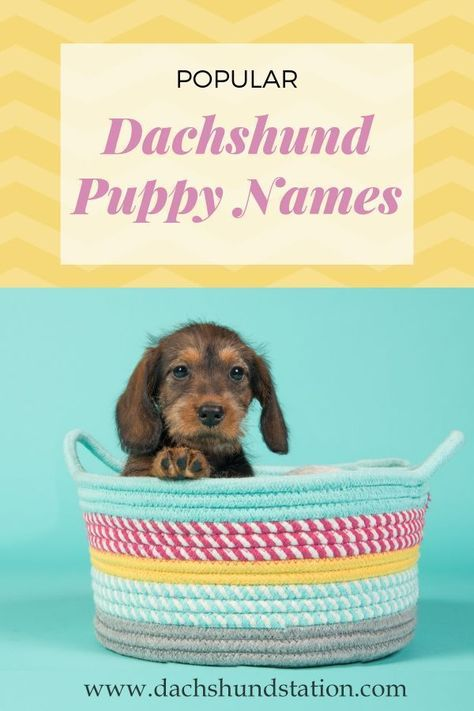 Best Dachshund Names Of 2020 Puppy Names Dog Names Puppies