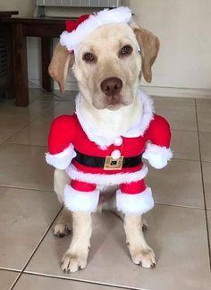 Labrador Puppy Dress Labrador Puppy Dressed Up Like Santa Paws From Henry The Labby Instagram Barkinglaughs Labr Labrador Puppy Labrador Retriever Labrador
