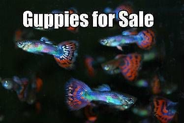 Guppies For Sale Cheap Fish Gumtree Australia Gold Coast City Labrador 1175649326 Guppy Fish Guppy Discus Fish