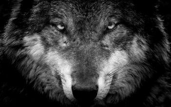 Wallpaper 4k Iphone Wolf Gallery Wallpaper Gallery Iphone