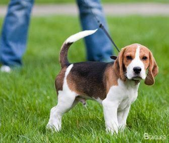 Get Great Pointers On Beagles They Are Actually Readily