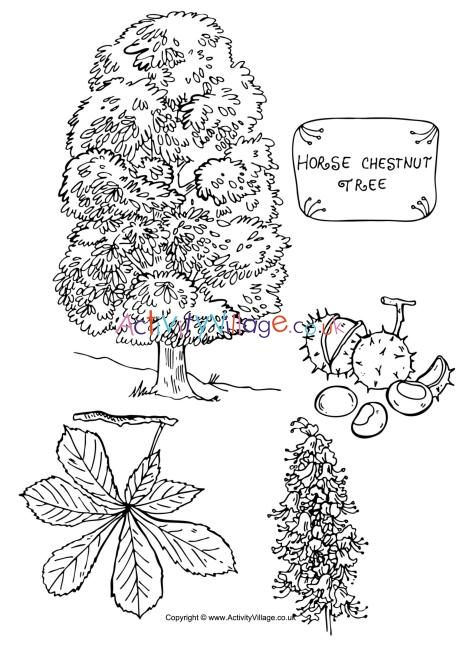 Horse Chestnut Tree Colouring Page Horse Chestnut Trees