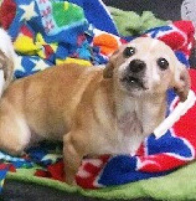 Kalamazoo Mi Chihuahua Meet Stimpy A Pet For Adoption Pet Adoption Pets Animals