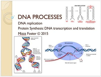 Dna Processes Replication Transcription And Translation Power