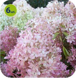 Hortensja Krzewiasta Panflora 6 Sztuk Plants