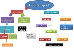 Transport Across The Cell Membrane Concept Map Google Search