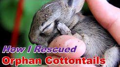 What To Feed Baby Rabbits 2 3 Weeks Old Orphaned Baby Bunnies Rabbit Feeding Wild Baby Cute Baby Bunnies