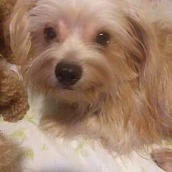 Inverness Florida Maltese Meet Champ A For Adoption Https Www Adoptapet Com Pet 23527391 Inverness Florida Maltese Maltese Maltese Dogs Pets