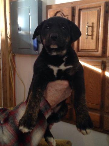 American Bull Dogue De Bordeaux German Shepherd Dog Mix Puppy For Sale In Fergus Falls Mn Adn 66479 On Pu Shepherd Dog Mix American Bull German Shepherd Dogs