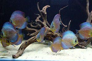 Aquaria Living Design Pvt Ltd Chennai In 2020 Fish Pet Discus Fish Beautiful Fish