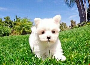 Absolutely Gorgeous Maltese Teacup Poodle Puppies Maltese Puppy