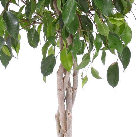 Braided Benjamina Ficus Tree Ficus Tree Ficus Potted Trees