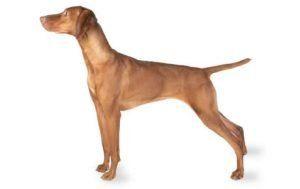 Vizsla Dog Breed Information Pictures Characteristics Facts Vizsla Dogs Vizsla Dog Breed Vizsla