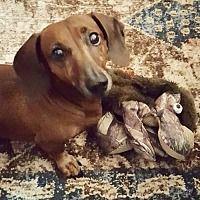 Tampa Florida Dachshund Meet Frank Fl Adoptable Animals
