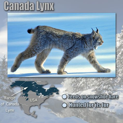 Canada Lynx Facts For Kids Zoology 3 Land Animals Apologia