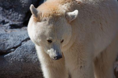 белый медведь альбинос фото
