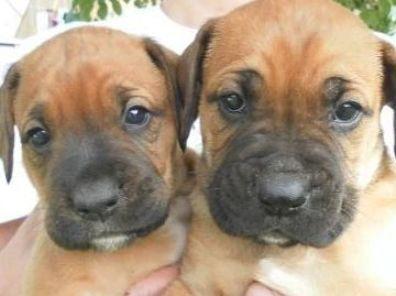 Rhodesian Ridgeback Boxer Mix Puppies Aktuelle Anzeigen In 2020 Boxer Mix Puppies Dog Accesories Dogs And Kids
