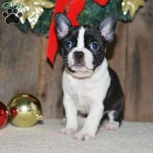 Boston Terrier Puppies For Sale Terrier Puppies Terrier