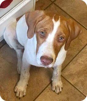 Hound Unknown Type Labrador Retriever Mix Puppy For Adoption In