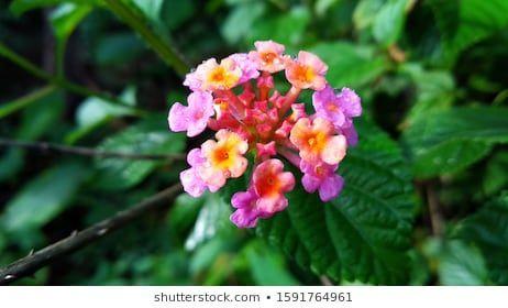 Beauty Lantana Flower Morning Stock Photo Edit Now 1591764961 In 2020 Lantana Flower Lantana Flowers