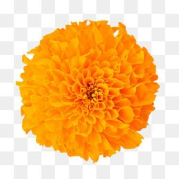 In Kind Marigold Smell Of Hibiscus Bloom Fall Marigold Flower Flowers Yellow Flower Flower Leave The M Flower Clipart Flower Png Images Free Watercolor Flowers