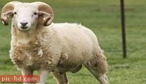 صور الخروف معلومات عن الخروف Sheep Farmyard Animal Animals