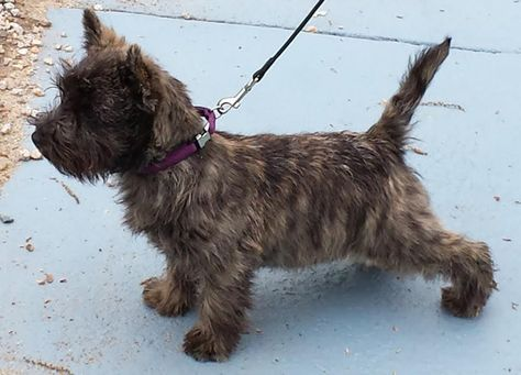 Havenshire Cairn Terriers Cairn Terrier Puppies Yorkshire
