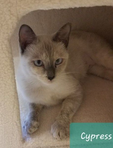 Siamese Cat For Adoption In Marshall Texas Cypress In Marshall