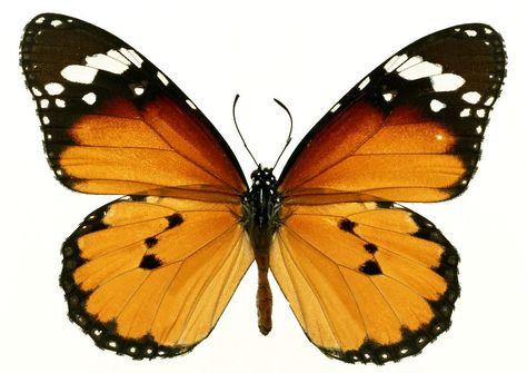 Arabsexweb online com | Butterfly images, Orange butterfly