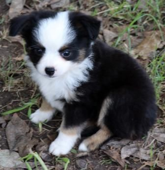 Texas Miniature Australian Shepherd Puppies Miniature Australian