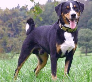 Appenzeller Mountain Dog