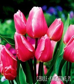Tulipan Wielokwiatowy Happy Family 5 Szt Plants Flowers Rose