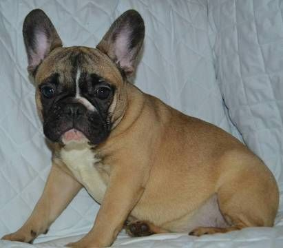 French Bulldog Puppy For Sale In Millville Ma Usa Adn 80415 On