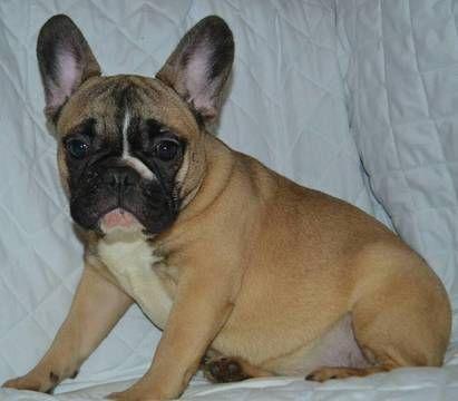 French Bulldog Puppy For Sale In Boston Ma Adn 69381 On