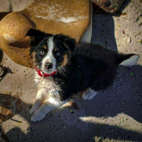 Zira #pet #petlover #animalloer #bordercollie #dogs #cutedogs #babydogs #love #profesionalpics #instapics   Zira #pet #petlover #animalloer #bordercollie #dogs #cutedogs #babydogs #love #profesionalpics #instapics