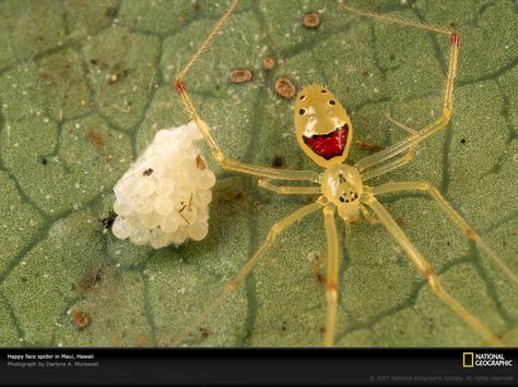 Found only on the islands of Oahu, Molokai, Maui, and Hawaii, the happy face spider, such as this one guarding its eggs on a leaf in Maui, is known for the unique patterns that decorate its pale abdomen. / via @binx