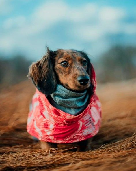 Dachshund Clothes That Actually Fit Dogs Dachshund Clothes