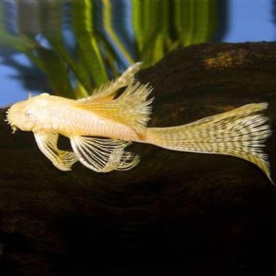 Super Red Pleco Superred Pleco 7 5 Betta Fish Tropical Fish Pleco Fish